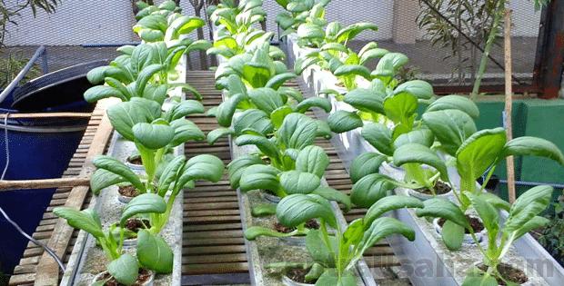 Sayuran Hidroponik Agribisnis