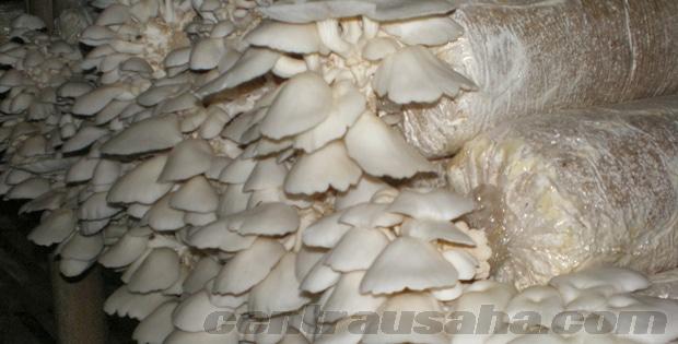 Baglog budidaya jamur tiram putih