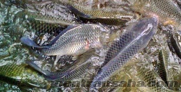 Budidaya Ikan Nila Di Lahan Sempit Sekitar Rumah Dengan Cara Mudah